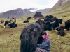 Nomad woman milking a yak, Jhomulhari trek, Yak hair tent in background