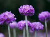 Primula, Denticulata, wildflowers, Yutong-la, mountain pass
