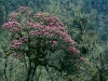 Himalayan Rhododendron tree, high on Yotong-la Mountain Pass