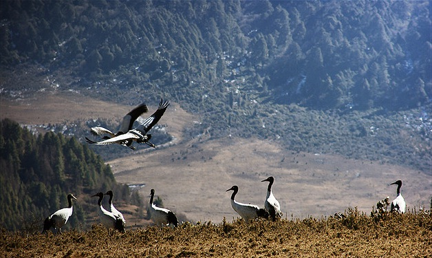 The Endangered Black Neck Cranes migrate to spend the winter in Bhutan from Tibet